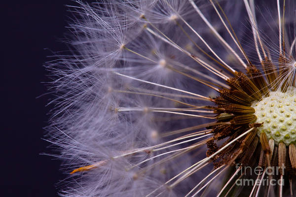 Close-up Of Dandelion Seed Poster