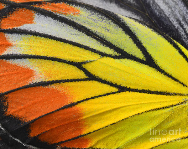 Close Up Of Painted Jezebel Butterflys Poster