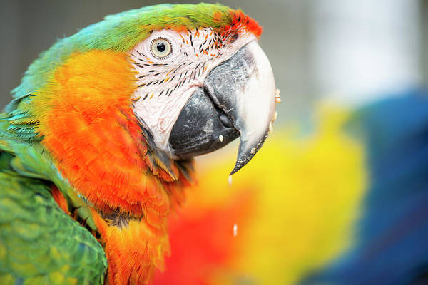Close Up Of The Macaw Bird. Poster