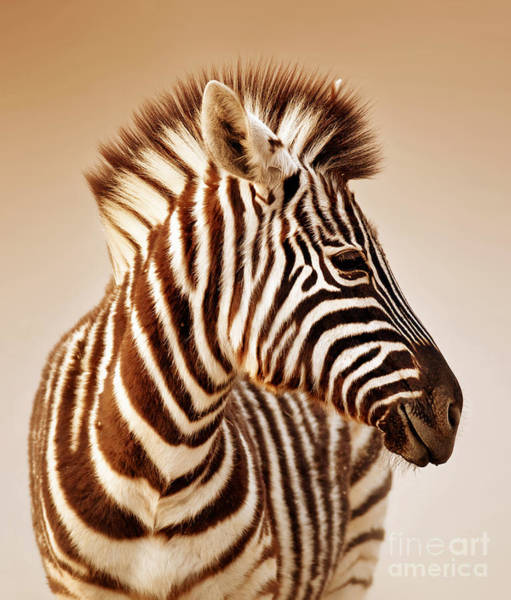 Close-up Portrait Of A  Baby Zebra Poster