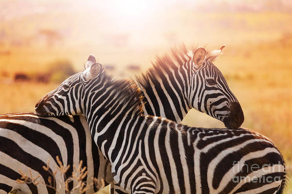 Close-up Portrait Of Mother Zebra With Poster