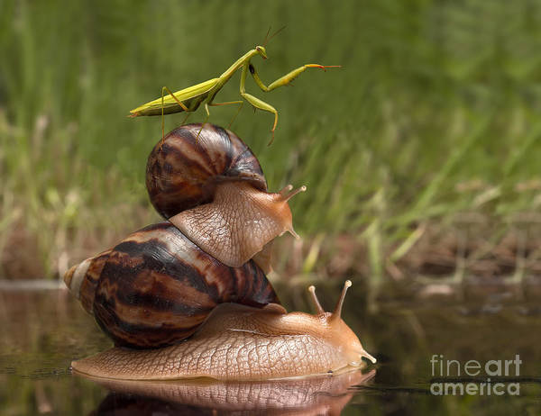 Closeup Praying Mantis Riding On Snails Poster