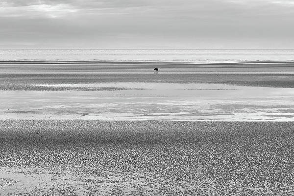 Coastal Brown Bear On  A Beach In Monochrome Poster