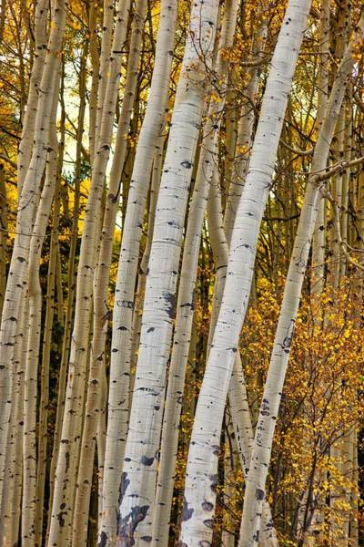 Poster featuring the photograph Colorado Aspens by Tom Gresham
