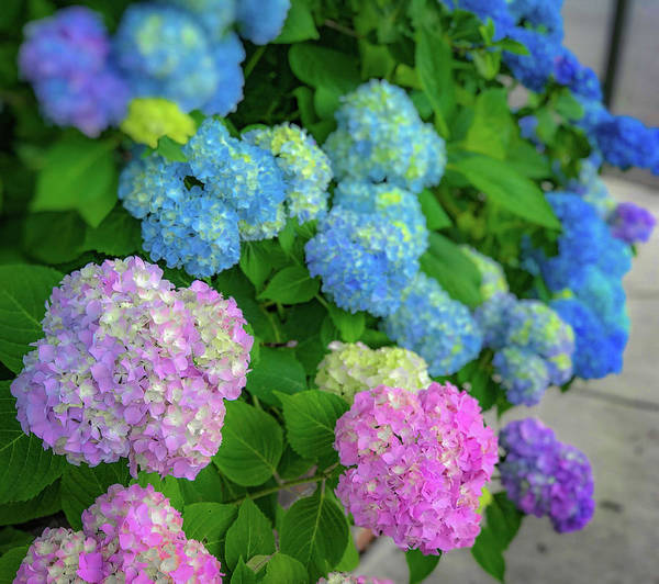 Poster featuring the photograph Colorful Hydrangeas by Lora J Wilson