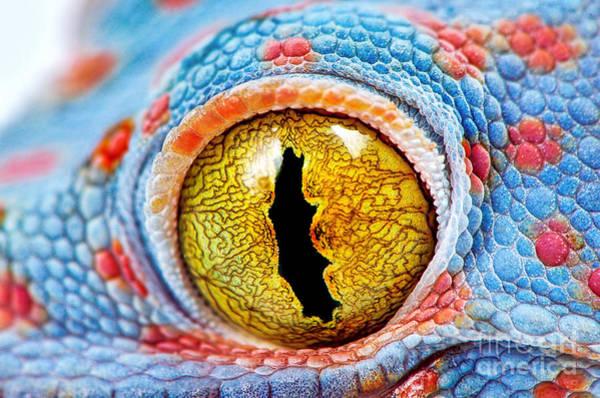 Colorful Tokes Gecko Amazing Eye Macro Poster