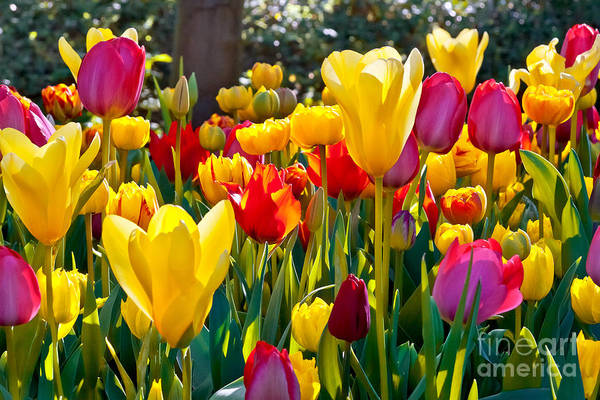 Colorful Tulips In The Park. Spring Poster