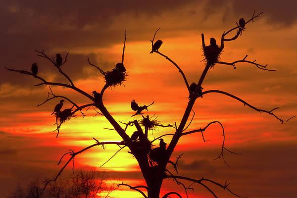 Cormorant Nest Building Time Poster