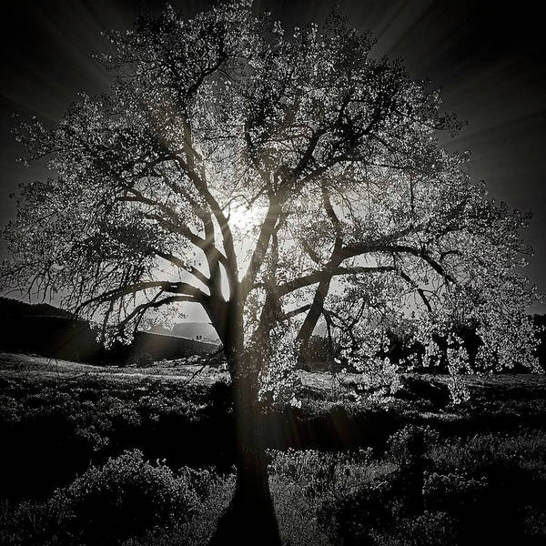 Cottonwood Sun Radiance, B And W Poster
