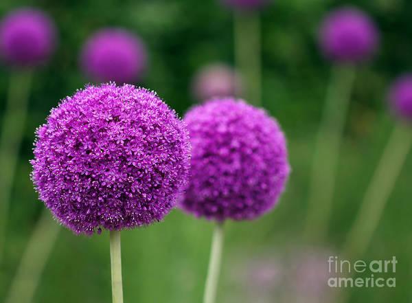 Couple Of The Allium Purple Flowers Poster