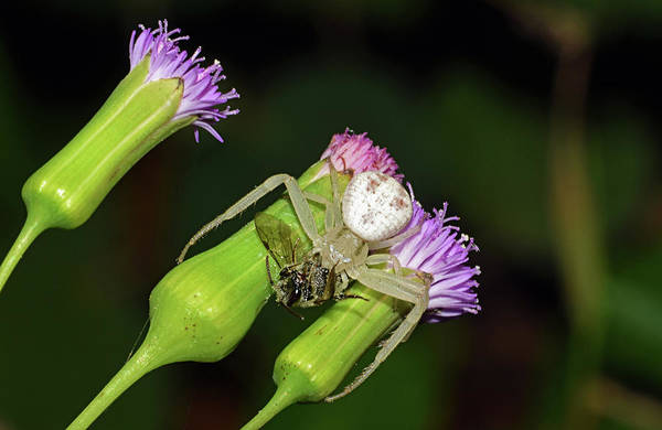 Crab Spider With Bee Poster