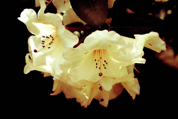 Creamy Rhododendron Poster