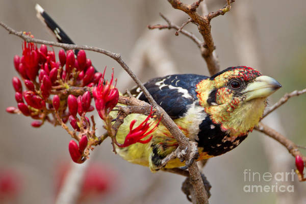 Crested Barbet, South Africa Poster