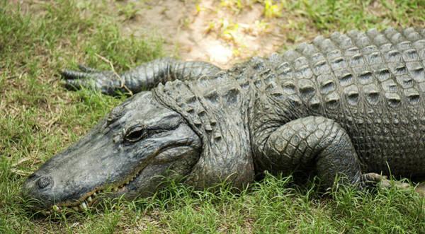 Crocodile Outside Poster