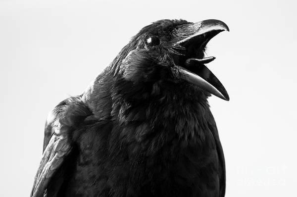Crow In Studio Poster