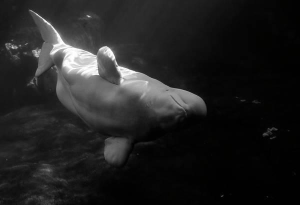 Curious Beluga Poster