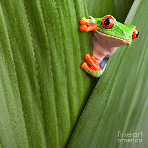 Curious Red Eyed Tree Frog Hiding In Poster