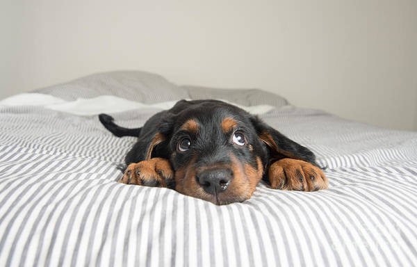 Cute Rottweiler Mix Puppy Sleeping On Poster