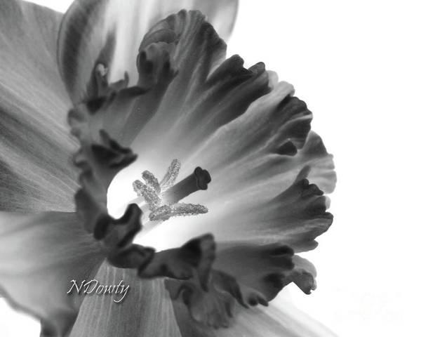Daffodil Cornered Poster