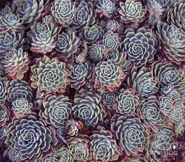 Dainty Succulents With Thick Skin Or Poster