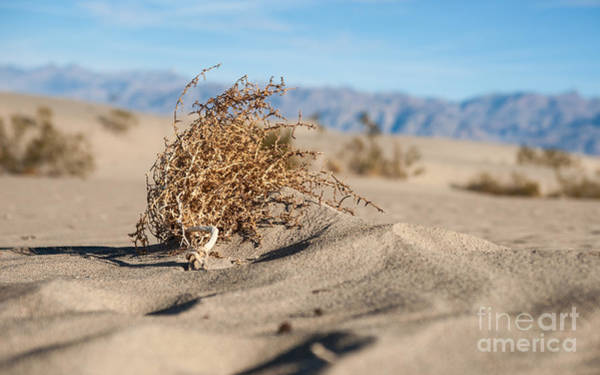 Dead Sagebrush Lies On Sand In Desert Poster