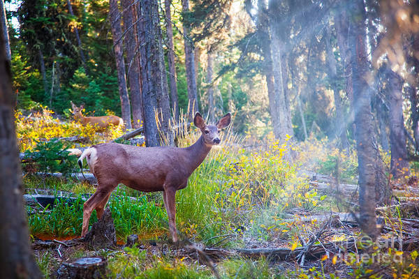 Deer Standing In Sunshine In Forest Poster