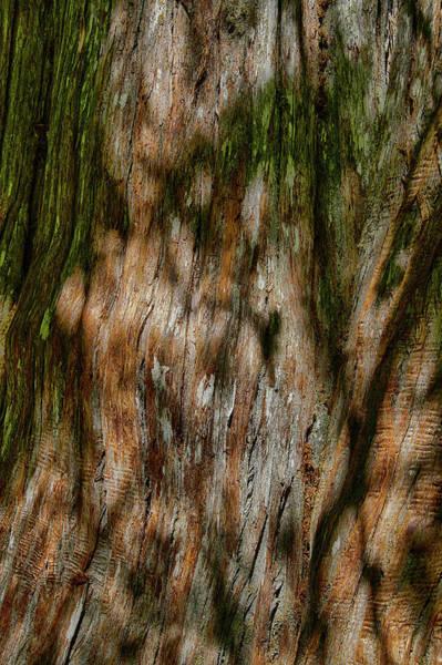 Detail Of Bark On Huge  Tree Poster