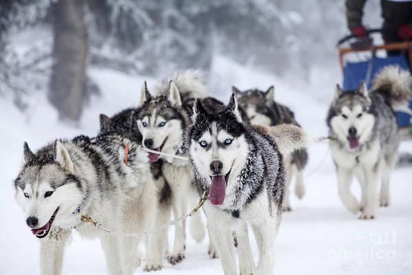 Dog-sledding With Huskies Poster
