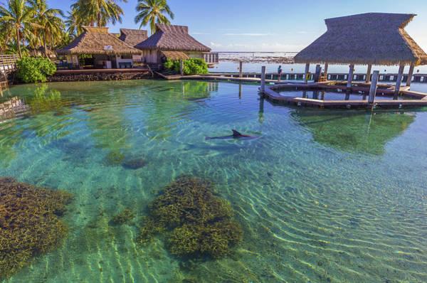 Dolphin In Mo'orea French Polynesia Poster