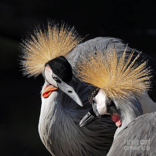 Duo Of Crowned Cranes On A Dark Poster