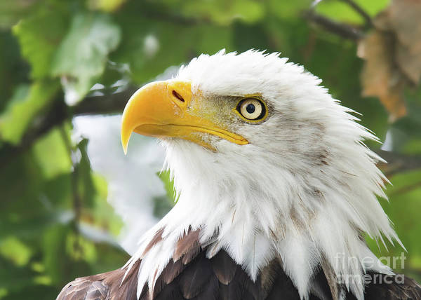 Bald Eagle Perched In A Tree Poster