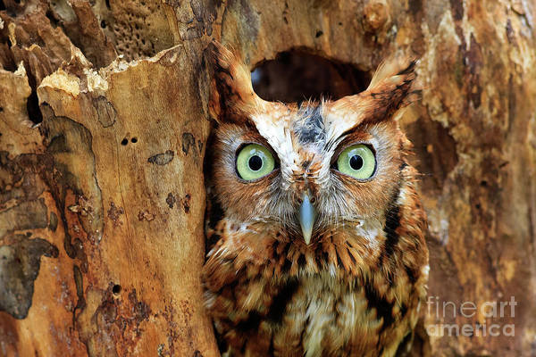 Eastern Screech Owl Perched In A Hole In A Tree Poster