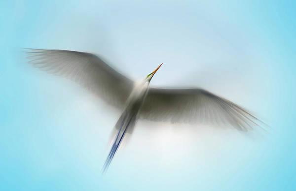 Egret In Motion Poster