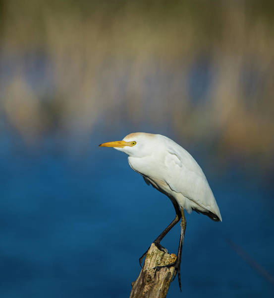 Egret On A Stick Poster