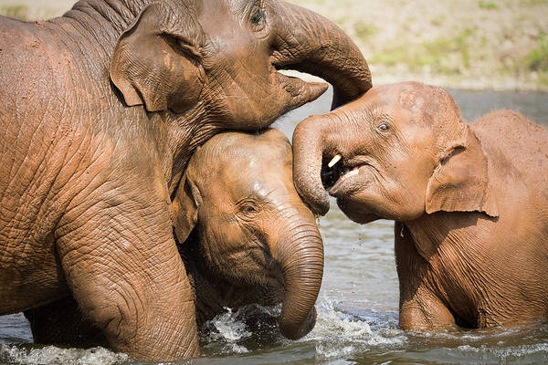 Poster featuring the photograph Elephant Family by Nicole Young
