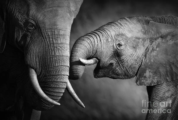 Elephants Showing Affection Artistic Poster