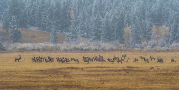 Elk On A Snowy Autumn Day Poster