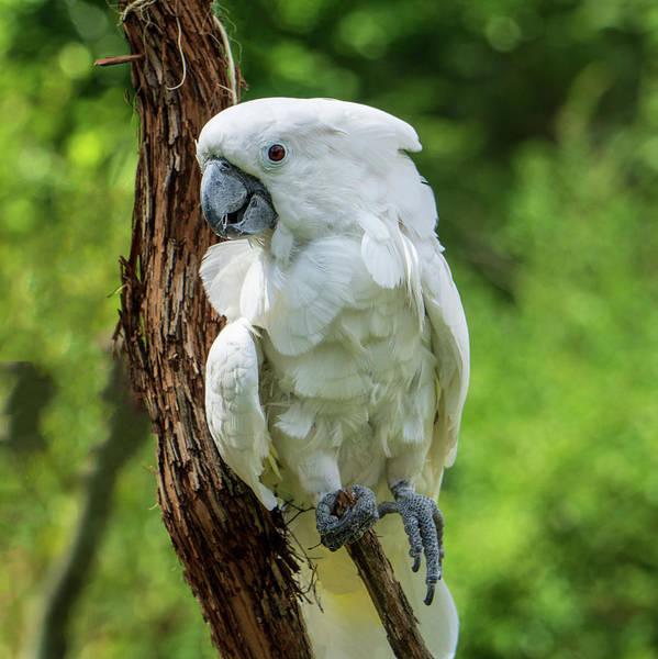 Endangered White Cockatoo Poster
