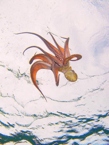 European Octopus Poster