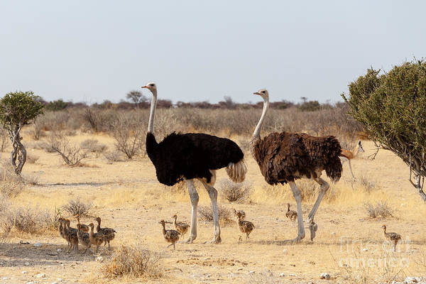 Family Of Ostrich With Chicken Poster