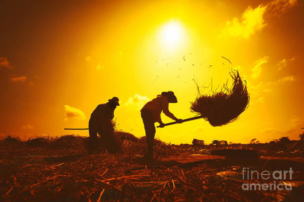 Farmers Silhouettes At Sunset. Rice Poster