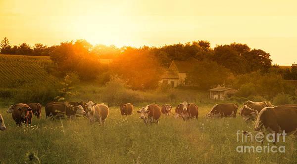 Farmland Summer Scene In Sunset Poster