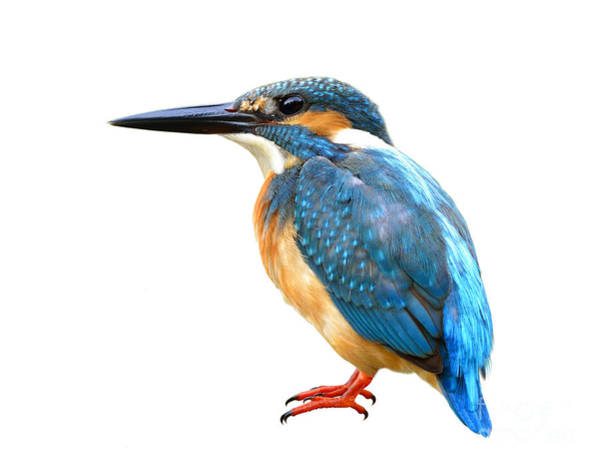 Fascinated Blue Bird, Common Kingfisher Poster