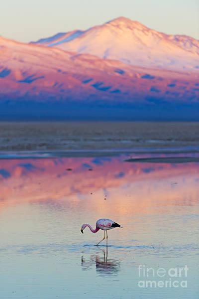 Flamingo, Pink Sunset Above Atacama Poster