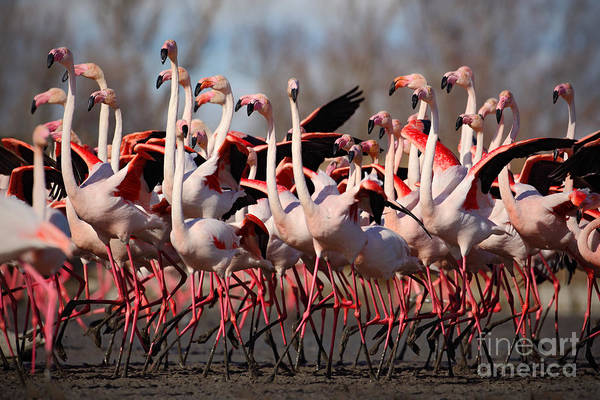 Flock Of  Greater Flamingos Poster