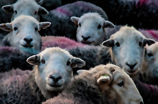Flock Of Herdwicks Digital Painting Poster