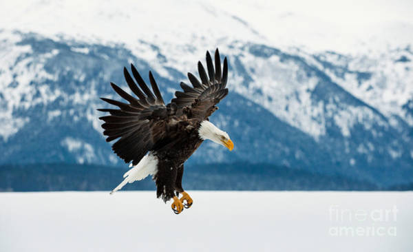 Flying Bald Eagle  Haliaeetus Poster