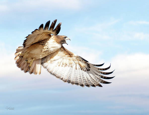 Flying Red-tailed Hawk Poster