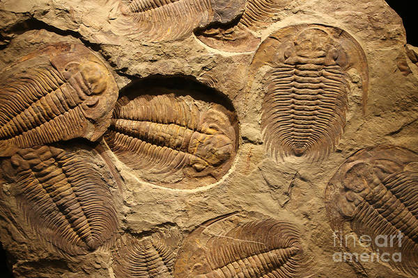 Fossil Trilobite Imprint In The Sediment Poster