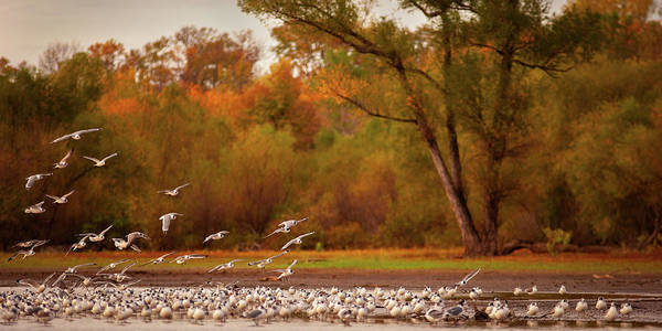 Poster featuring the photograph Franklin's Gull  by Jeff Phillippi